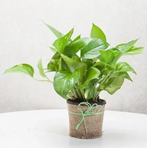 Money Plant in Jute Wrapped Pot