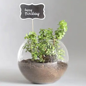 Happy Birthday Jade Plant Terrarium